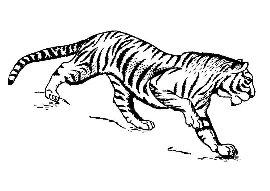 Malvorlage Tiger - Kostenlose Ausmalbilder Zum Ausdrucken