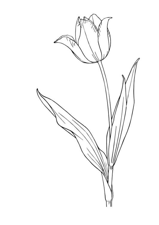 Malvorlage Tulpe - Kostenlose Ausmalbilder Zum Ausdrucken