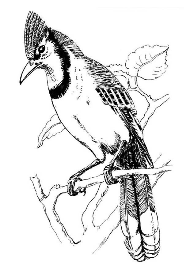 Malvorlage Vogel - Blauhäher - Kostenlose Ausmalbilder Zum