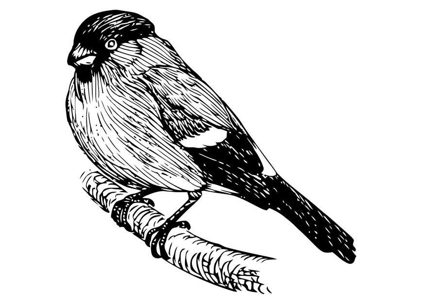 Malvorlage Vogel - Goldfink Ausmalbild 20704