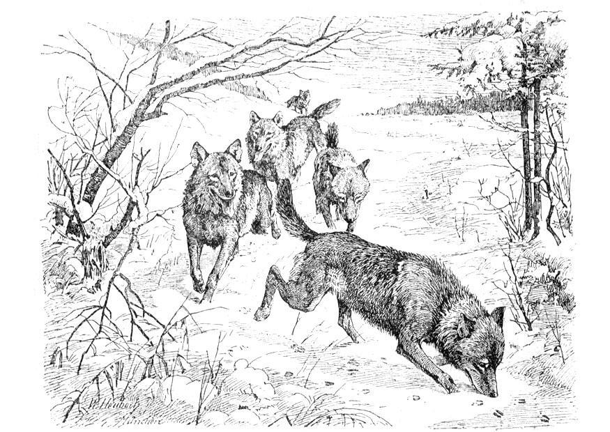Malvorlage Wölfe Ausmalbild 9760