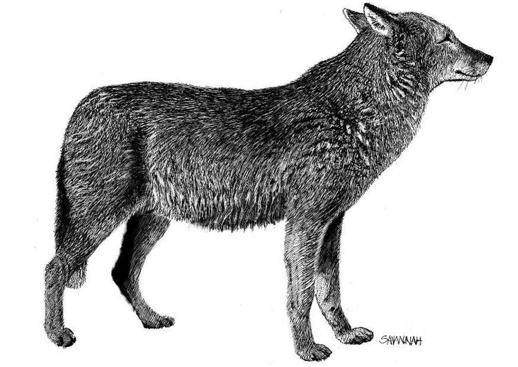 Malvorlage Wolf Ausmalbild 8570