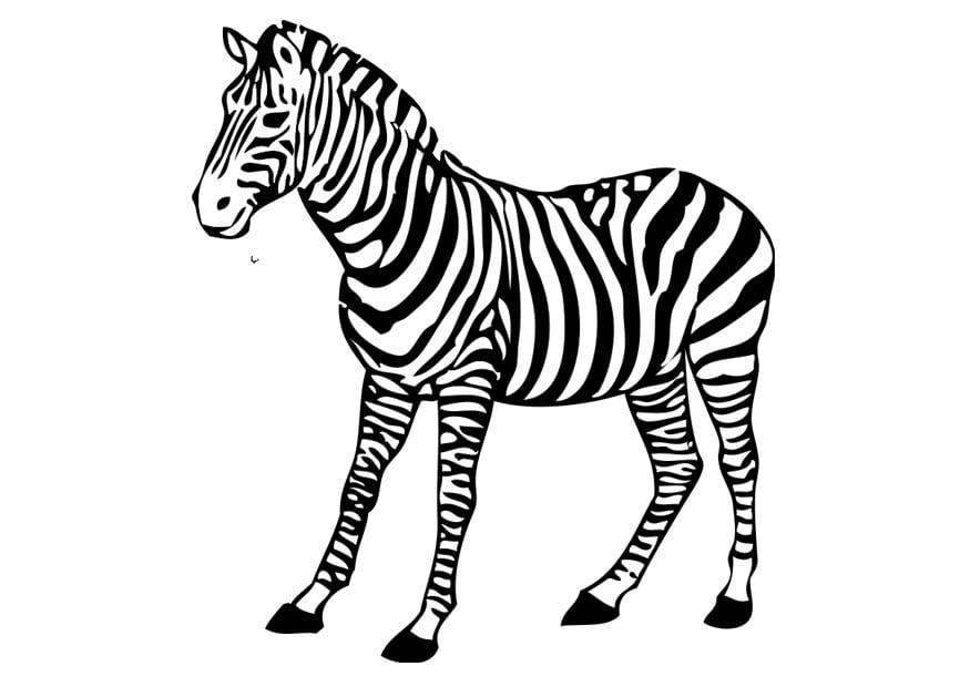 Malvorlage Zebra - Kostenlose Ausmalbilder Zum Ausdrucken