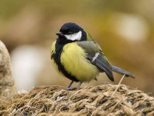 Wissen über Haustiere Kohlmeise ist aus dem Nest gefallen
