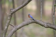 11_staff and volunteers have conducted a bird census for 35 years; bluebird