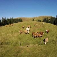 Kühe am Belchen