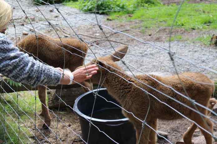 Herzig die kleinen Elche. Die Besucher sind total begeistert und füttern sie. (Foto: Andrea Ullius)