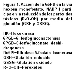 Glucose-6-phosphate dehydrogenase (G6PD): Response of the
