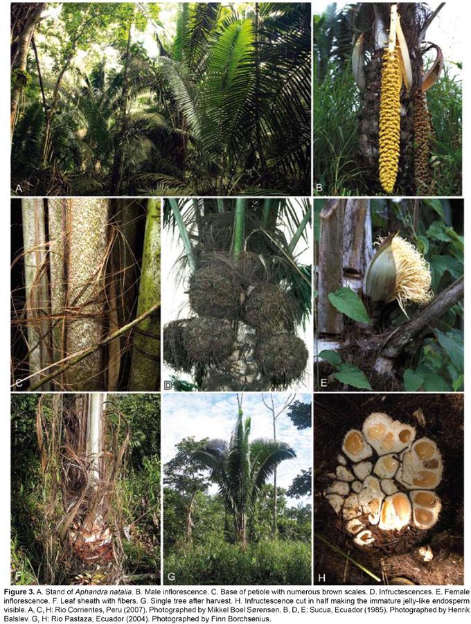 Aphandra natalia Arecaceae  un recurso poco conocido de