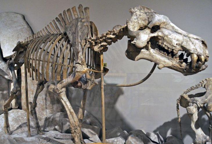 Dinohyus hollandi skeleton
