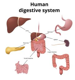 Digestive System Model – Science Experiments for Kids [ 1024 x 1024 Pixel ]