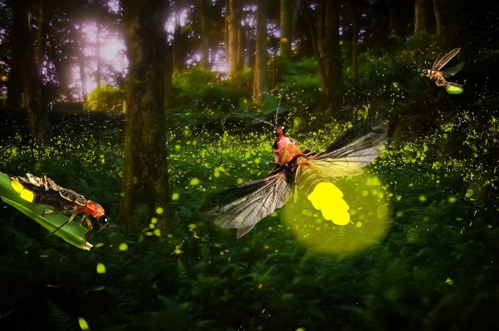 How And Why Does a Firefly Glow? » Science ABC
