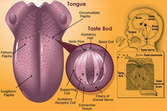 Under Tongue Diagram Diagram Of The Tongue Anatomy Picture Reference