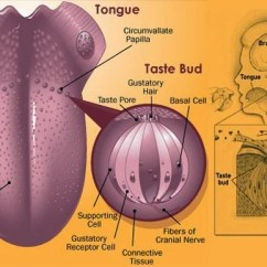 Diagram Of The Tongue With Labels How To Read Wiring Diagrams Car Does Sense Taste Work? Why Do We Miss It When Are Sick?