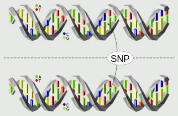 Polimorfismo de nucleotídeo único