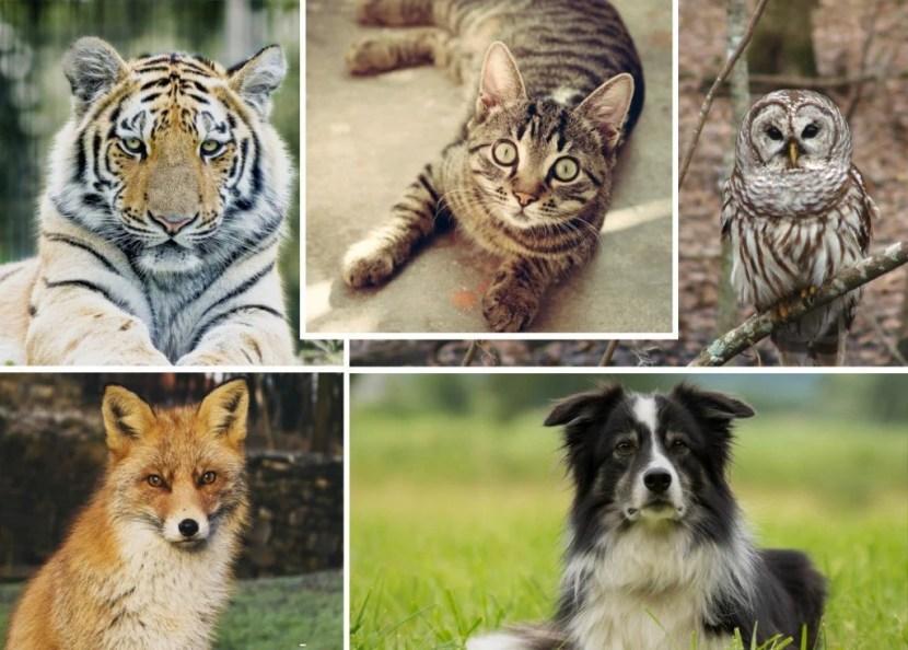 Animais com visão noturna melhor do que os seres humanos e você sabe a broca cão gato coruja tigre raposa