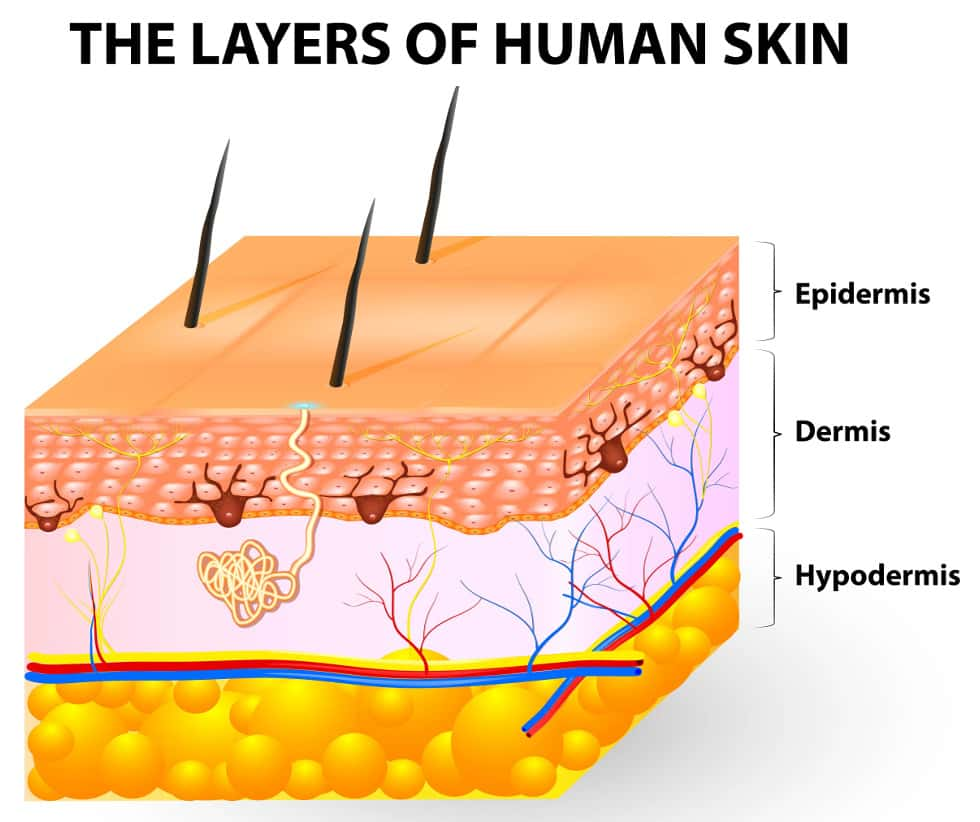 hight resolution of the three layers of the skin