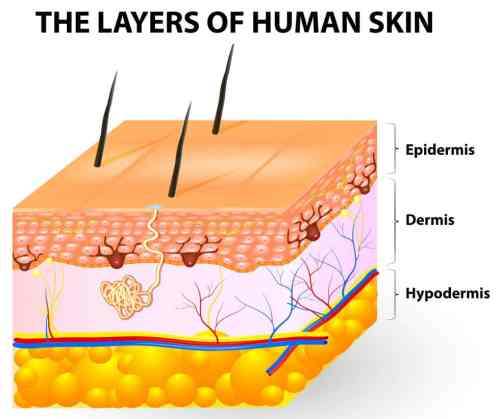 small resolution of the three layers of the skin