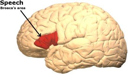 Área de Broaca no cérebro humano