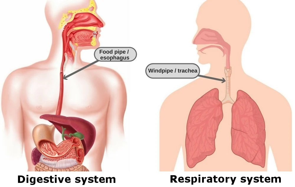 throat anatomy diagram 7 way rv trailer connector wiring what are esophagus and trachea why they located close to each as you can clearly see in these two pictures the food pipe windpipe quite practically next other