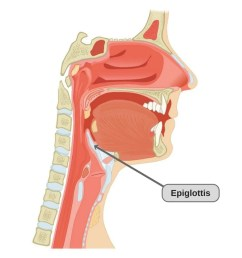 the epiglottis photo credit cfcf wikimedia commons  [ 1000 x 835 Pixel ]