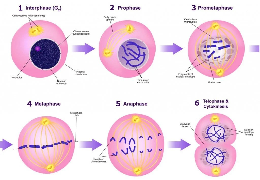 stages of mitosis diagram labeled camper trailer 12 volt wiring vs meiosis how does cell division work science abc a the mitotic phases