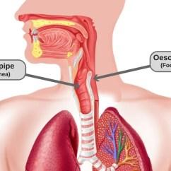 External Grasshopper Diagram Av System Wiring Back Of The Throat Anatomy Images - Human Organs
