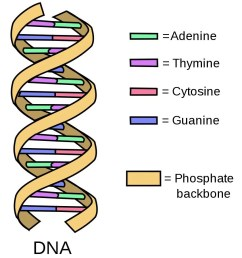 simple diagram of double stranded dna [ 852 x 938 Pixel ]