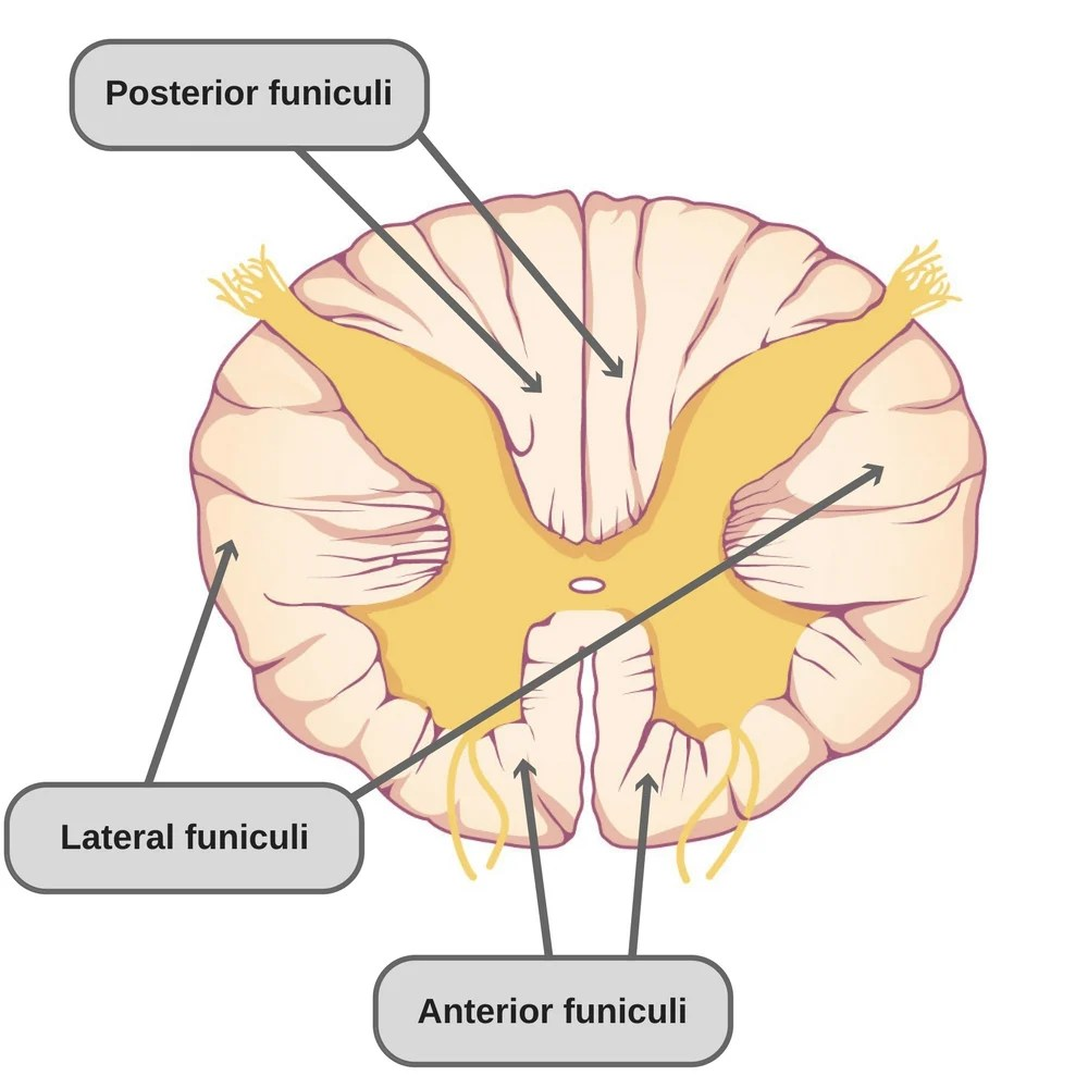 hight resolution of anterior funiculi it has multiple ascending and descending pathways spinal