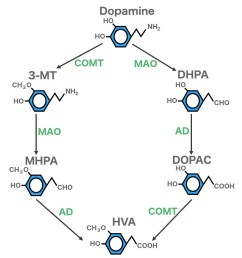 dopamine 3mt dhpa mhpa dopac hva jpg [ 1000 x 995 Pixel ]