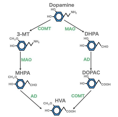 small resolution of dopamine 3mt dhpa mhpa dopac hva jpg