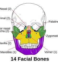 facial bones photo credit wikimedia commons  [ 1024 x 899 Pixel ]