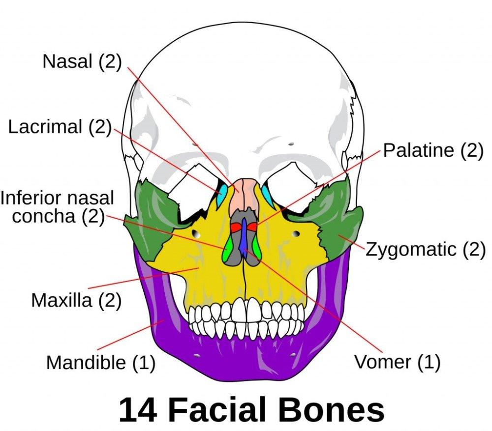 medium resolution of facial bones photo credit wikimedia commons