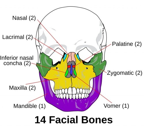 small resolution of facial bones photo credit wikimedia commons