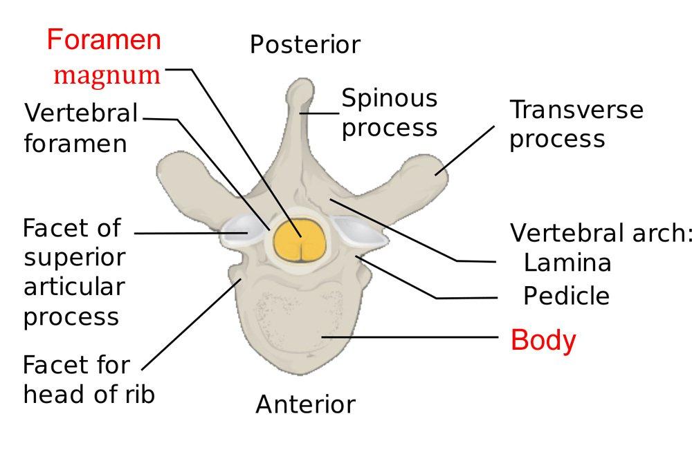 vertebrae diagram blank mitsubishi split ac wiring superior body unlabeled all data 3 different great installation of flank on human