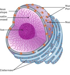 what is nucleoplasm  [ 1024 x 852 Pixel ]