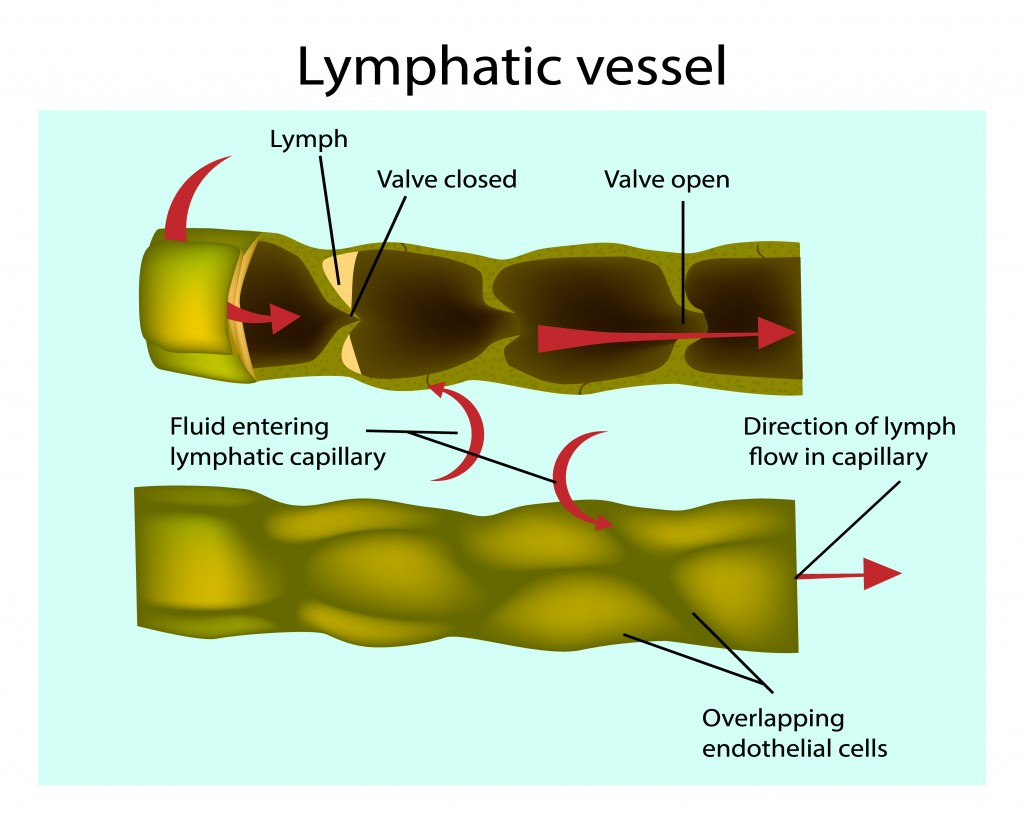 Lymphatic System Definition Function Diagram Amp Simple