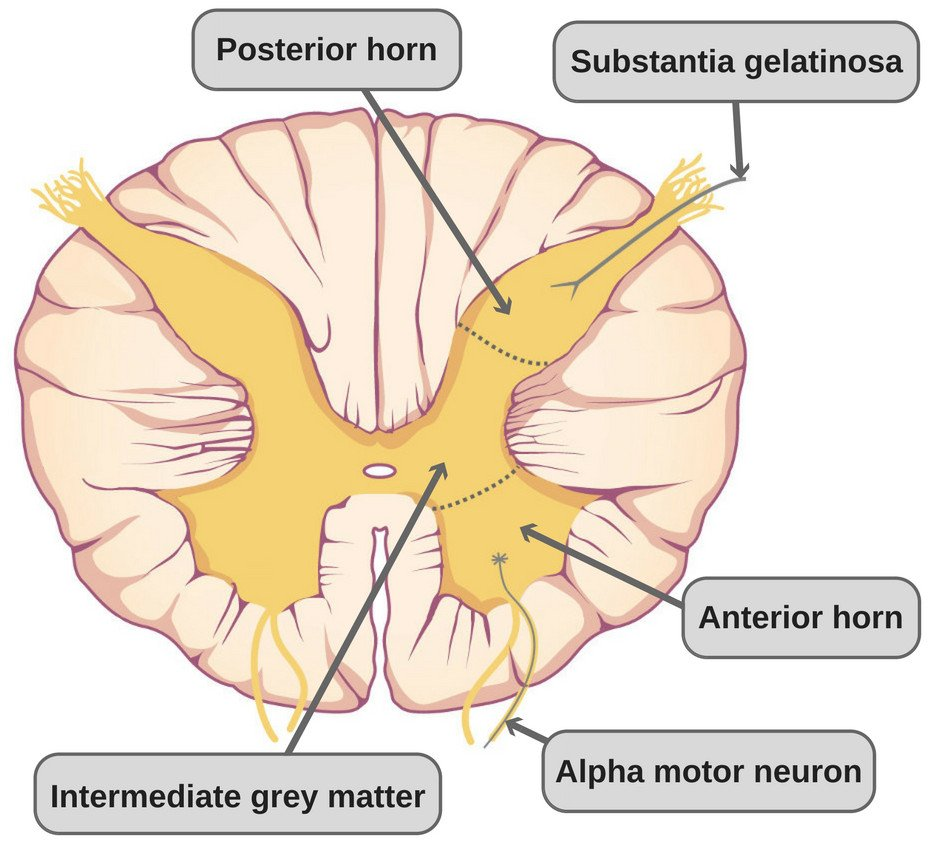 medium resolution of the white matter consists of ascending carrying sensory information to the brain and descending carrying motor information to the body fibers