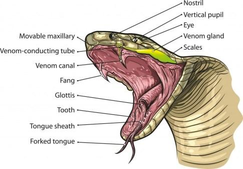 Vetor de anatomia de boca de cobra (NoPainNoGain)