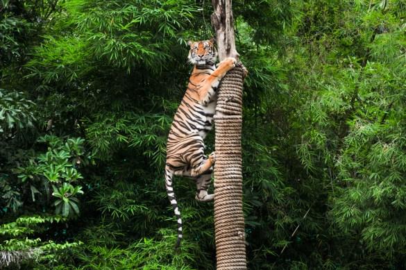 Tigre escalando um poste - Imagem (Duke.of.arcH) s