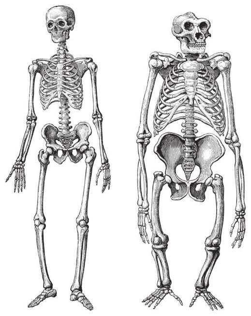 Esqueleto humano (esquerdo) e gorila (direito) (Hein Nouwens) S