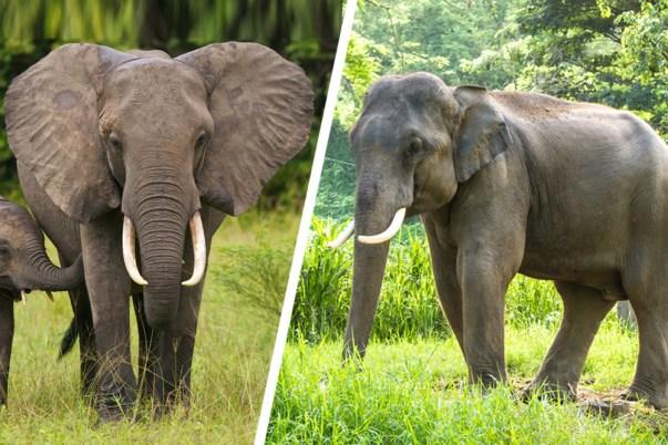 Elefante africano e elefante asiático
