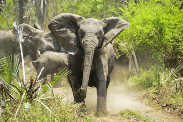 Elefante irritado (Walter Mario Stein) S