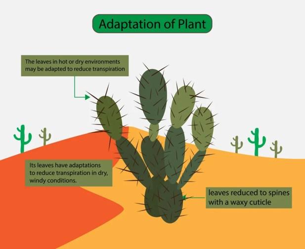 As folhas em ambientes quentes ou secos podem ser adaptadas para reduzir a transpiração, plantas do deserto (Nasky) s