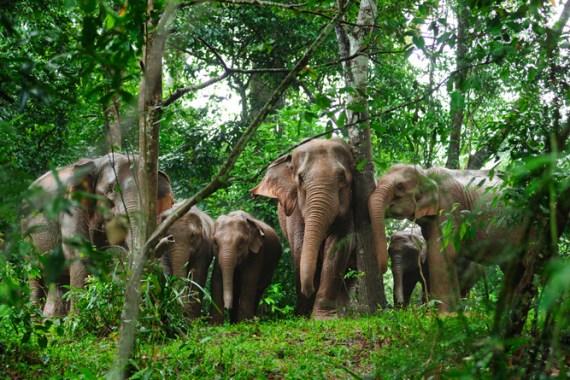 elefantes selvagens na selva da Tailândia (Taned Suparpornhemin) S