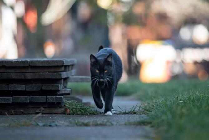 Jovem gato preto vai para a rua (DavidTB) s