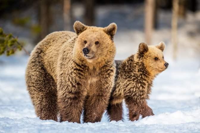 Ursa e filhotes de urso na neve (Sergey Uryadnikov) S