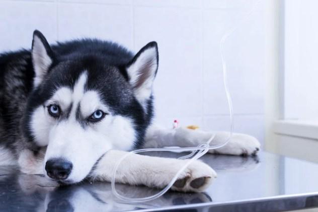 Cão colocou a cabeça entre as patas, deitado sobre a mesa com uma infusão intravenosa gota a gota na pata (Konstantin Zaykov) S