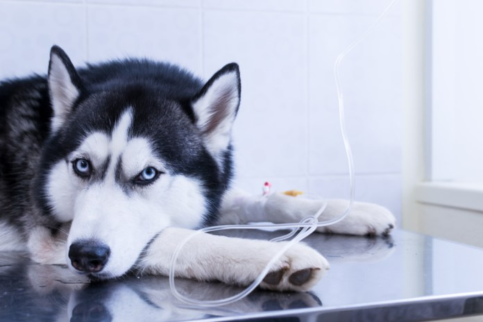 Dog put his head between his paws, lying on the table with an intravenous infusion drip in his paw(Konstantin Zaykov)S