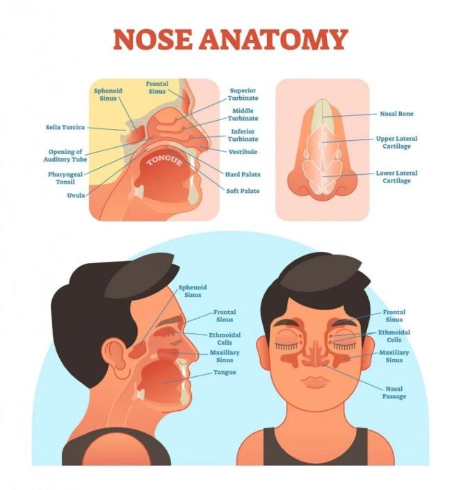 Diagrama de ilustração vetorial médica de anatomia do nariz com cavidade nasal (VectorMine) S
